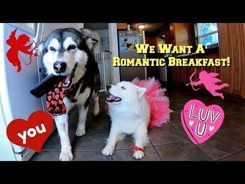 Malamute & Husky Search YouTube For Valentines Breakfast