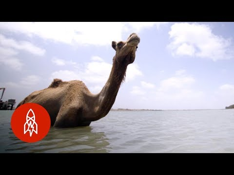 Have You Seen a Camel Swim?