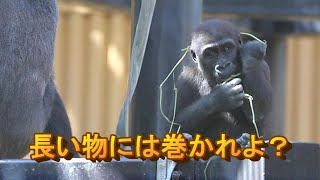 【Western Gorilla】長いものには巻かれよ!  What goes around comes around!