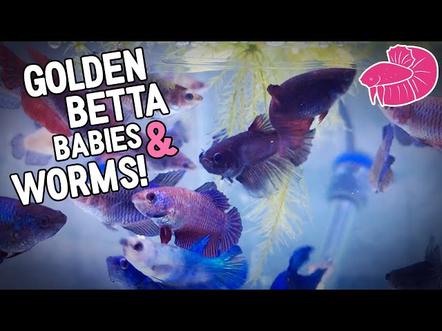 Sneak Peak at Golden Betta Babies and Feeding Grindal Worms! Daily Vlog Challenge #5