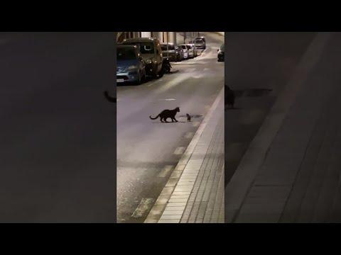 Γάτα εναντίον αρουραίου... ninja