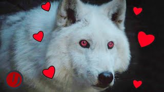 Game Of Thrones - Every Time Ghost Was A Very Good Boy
