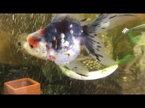 青文魚(パイフォン)五色東 銀魚 金魚と遊ぶ.com