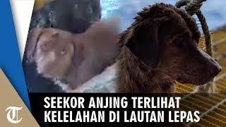 Anjing Terlihat Kelelahan Seusai Berenang ke Anjungan Lepas Pantai yang Berjarak 220 Km