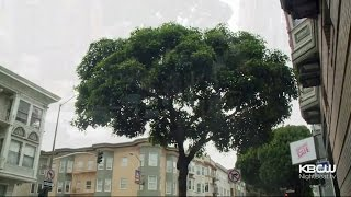 Victorian Box Trees Give Smelly SF Streets A Breath Of Fresh Air