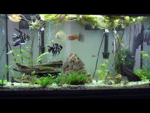 Discus, Angel, Denison barbs, Clown Loach, Corey, Rainbow Fish in 60 Gallon aquarium