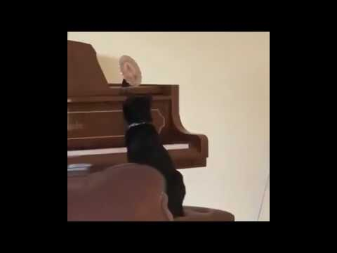 Cat Surprises Itself Playing Piano