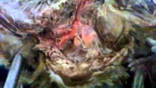 veteriner anatomi damarların anlatım videosu