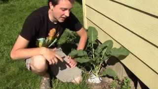 Simple and Cheap Way to Prevent the Cabbage Root Fly!
