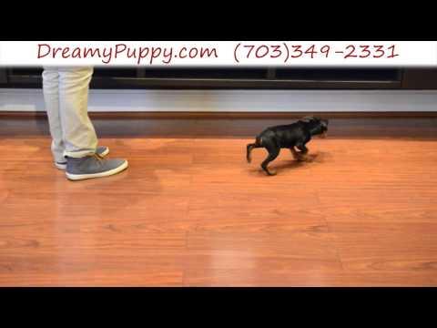 Spunky Miniature Pinscher Male Puppy