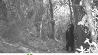 Andean Bear in Ecuador Cloud Forest