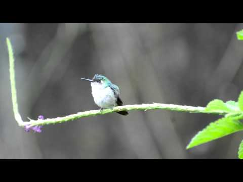 Klais guimeti - Violet-headed Hummingbird (juvenil)
