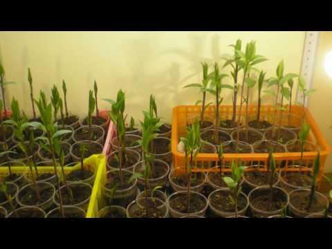 Лилии, спасение проросших луковиц в феврале и марте