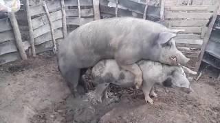 Premera cruza da minha porca novo
