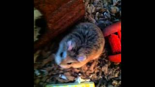 Super Cute Hamster Pictures!