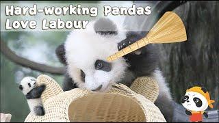Hard-working Pandas Love Labour | iPanda
