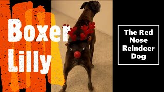 The Red Nose Reindeer Dog | Boxer Dog Lilly | Post Christmas Reindeer #Shorts