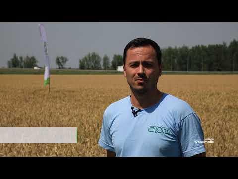 Prinosi pšenice od 10 tona uz dobru agrotehniku i odabir prave sorte