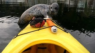Cheeky Seal Pup Jumps Onto A Kayak