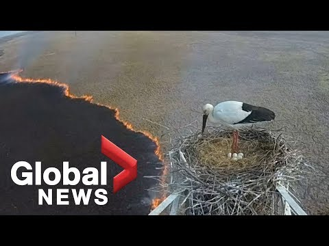 Russian Wildfire as Seen From a Storks Nest