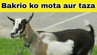 bakri ko mota karne ke liye kya khana chaiye - 免费在线视频