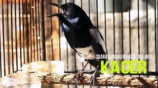 Masteran Burung : Suara Burung Kacer Gacor Juara Nasional High Quality Mp3