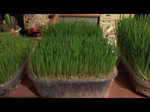 Comment faire pousser de l'herbe de blé ?