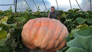 How to Grow a Giant Pumpkin: Secrets to Growing 1000+ Pound Pumpkins