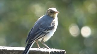 preview picture of video 'Ptice Hrvatske - Bijela pastirica (Motacilla alba) (Birds of Croatia - Pied Wagtail) (1/1)'
