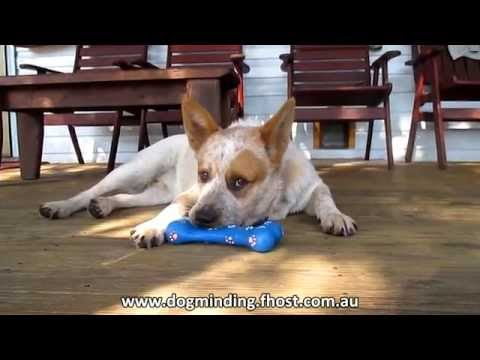 Billy (Australian Red Cattle Dog) Howling