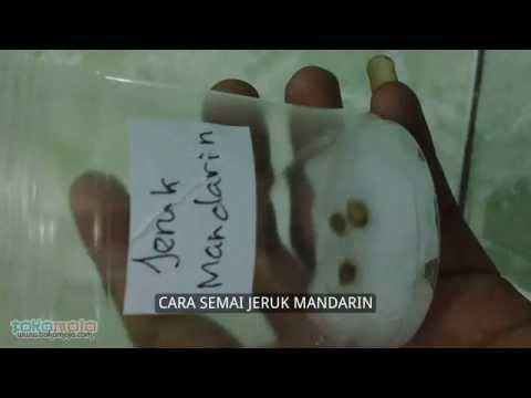 Video Cara Semai Jeruk Mandarin