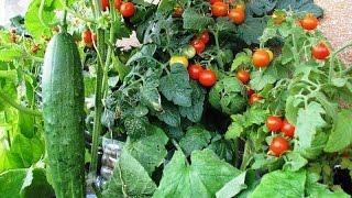 Овощи: желанное и нежеланное соседство