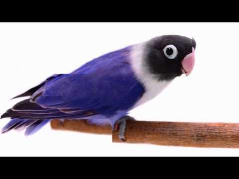 mp4 Lovebird Ungu, download Lovebird Ungu video klip Lovebird Ungu