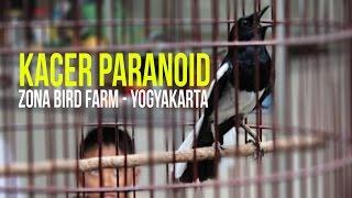 SUARA BURUNG : Kacer Paranoid Gacor Mantap Durasi Panjang