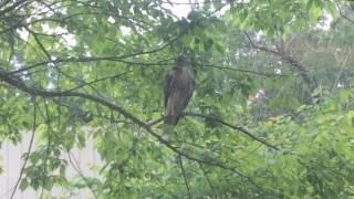 Spied a Hawk