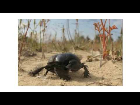 Bounding Gait Locomotion of a Legged robot inspired by the African Dung Beetles