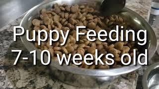 Feeding Puppies 8 weeks old