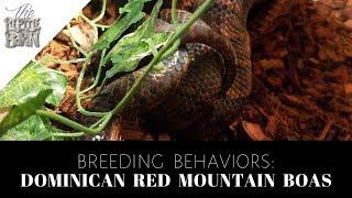 Dominican Red Mountain Boas In Breeding Mode!