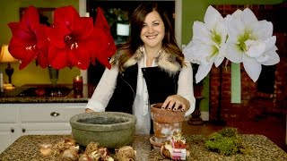 Planting Amaryllis Bulbs // Garden Answer