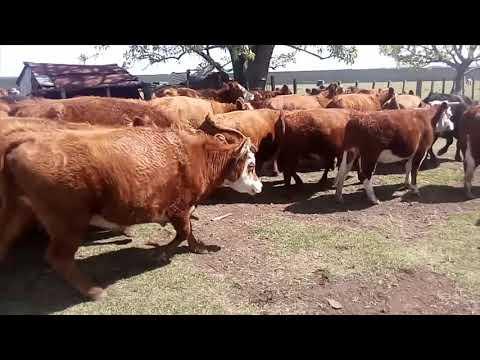 Afiche 34 Vaquillonas Vacas Preñadas  - Salto