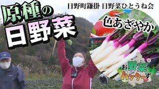 【お野菜ハンターず】日野菜(原種) 日野町鎌掛 日野菜ひとうね会