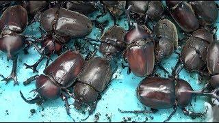 カブトムシフェスタ2019 A Large Number Of Japanese Rhinoceros Beetles 【カブトムシ・クワガタムシ】