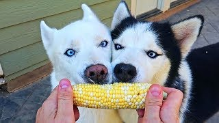 My Husky Eating Corn On a Cab for the First Time
