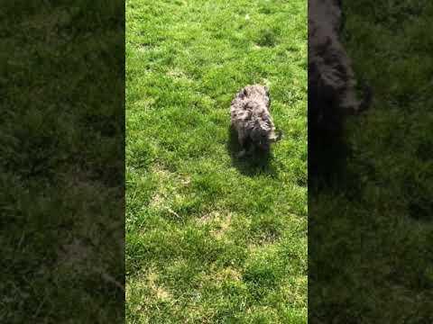Liam - Goldendoodle, Mini puppy for sale