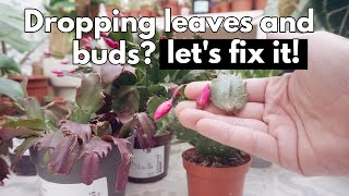 Christmas cactus dropping segments, leaves or flower buds. Save your succulent plant
