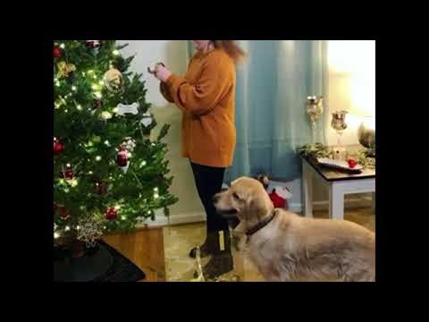 Σκύλος βοηθάει στον στολισμό του Χριστουγεννιάτικου δέντρου