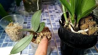 Получение и адаптация орхидей зимой. Как самочувствие моих новеньких после зимнего путешествия
