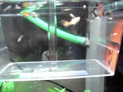 Sala Parto Guppy : Sala parto avannotti guppy: come riprodurre pesci tropicali guppy in