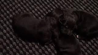 Newfoundland puppies 2 days old