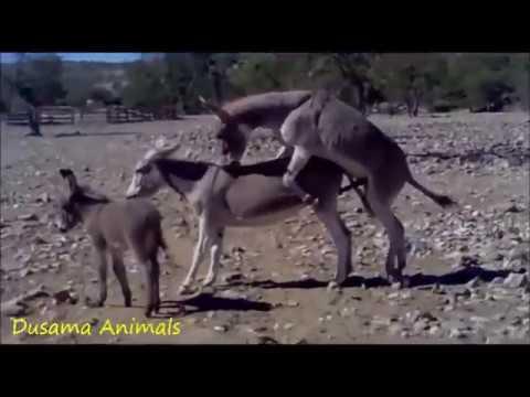 The Animal World : Donkey  Mating
